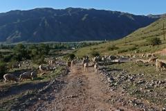 Schafsherde im Saty Tal