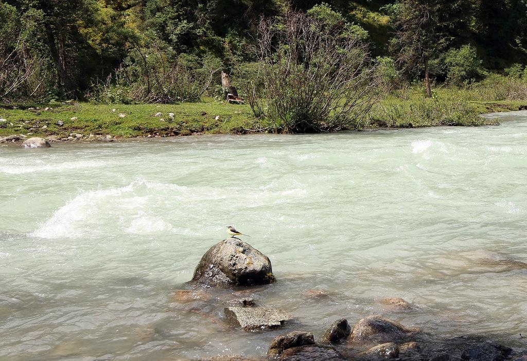 Gebirgsstelze (grey wagtail) auf dem Weg zum Teleti-Pass in Kirgistan