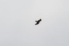 Ein Adler kreist seine Bahn