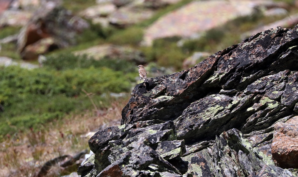 Steinschmätzer auf der Fünf-Seen-Runde in Zermatt