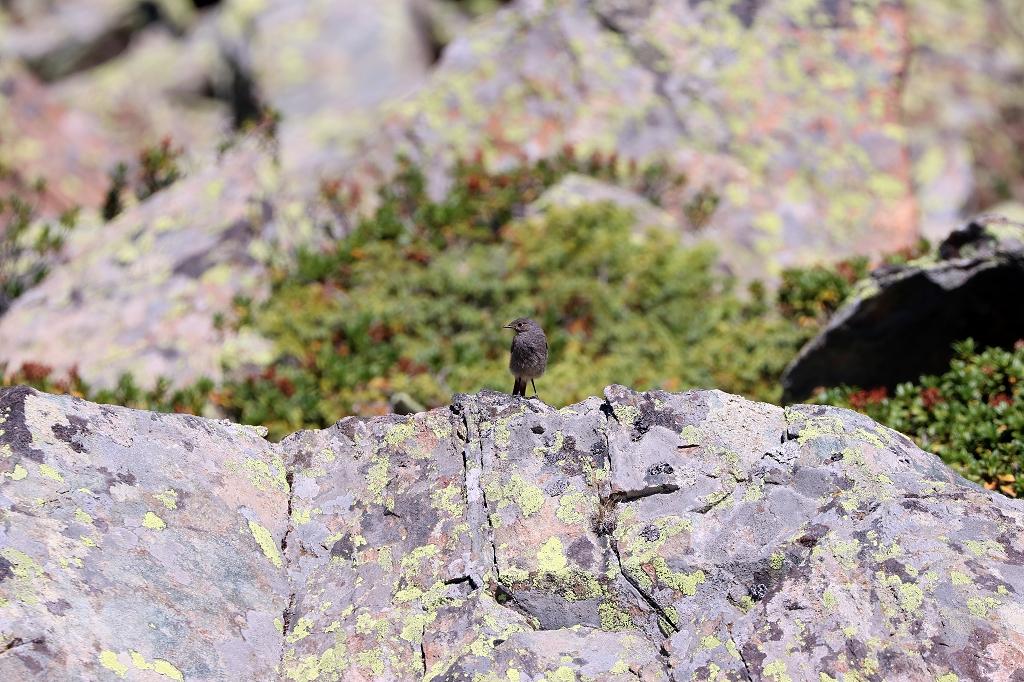Hausrotschwanz auf der Fünf-Seen-Runde in Zermatt
