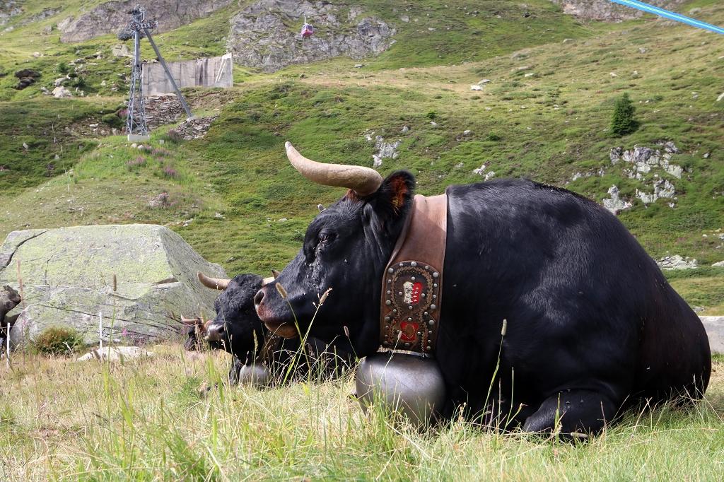 Eringer - eine typische Walliser Haustierrinderrasse