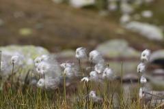 Wanderung vom Grimselpass zum Sidelhorn - Wollgras