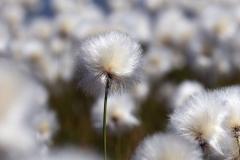 Wanderung vom Grimselpass zum Sidelhorn - Wollgras am Jostsee