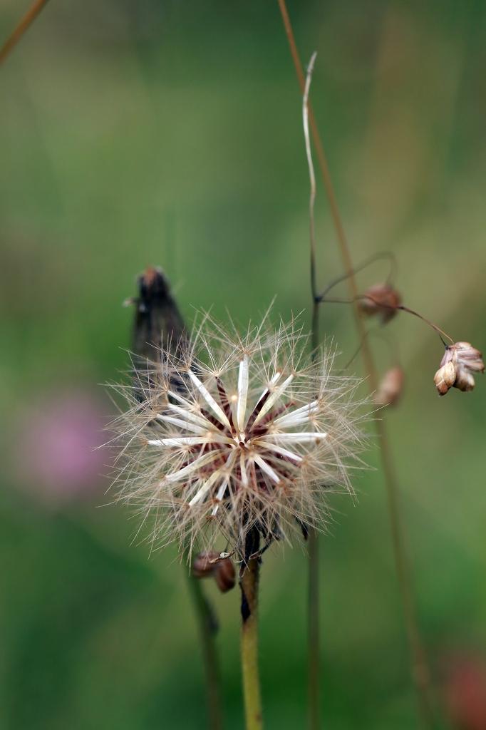 Alpenblumen beim Abstieg vom Allmendhubel nach Mürren