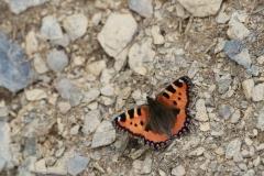 Schmetterling beim Abstieg vom Allmendhubel nach Mürren