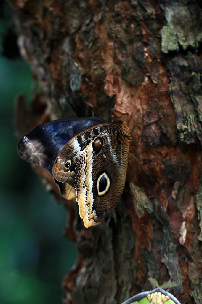 Bananenfalter (Caligo atreus) im Papiliorama