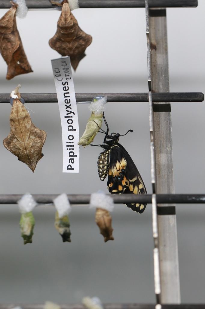 Puppenaufzuchtstation im Papiliorama