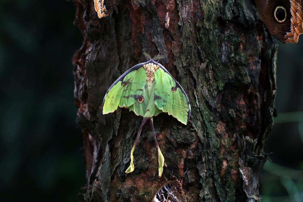 Nachtfalter im Papiliorama