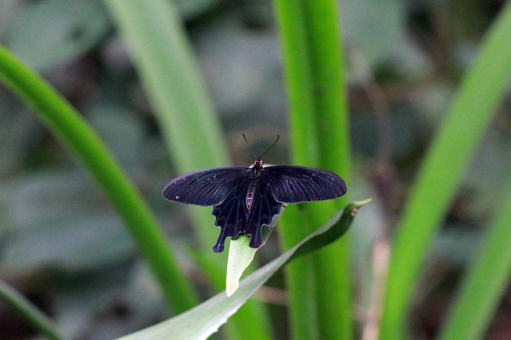 Kleine Fledermaus (Pachliopta kotzebuea) im Papiliorama