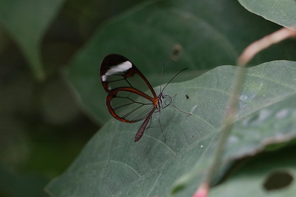 Glasflügelfalter (Greta oto) im Papiliorama