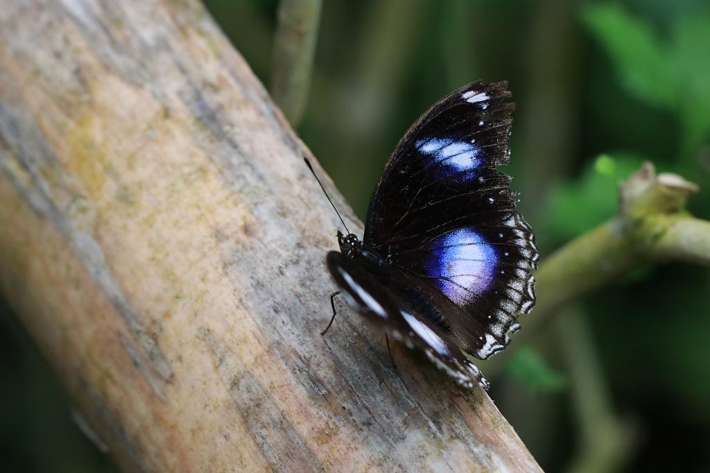 Große oder Gewöhnliche Eierfliege (Hypolimnas bolina) im Papiliorama