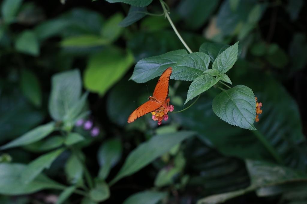 Fackel oder Julia (Dryas iulia) im Papiliorama