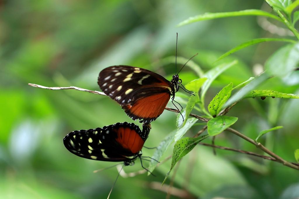 Tiger-Passionsblumenfalter (Heliconius hecale) im Papiliorama