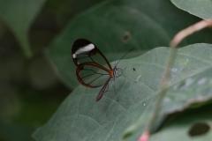 Schmetterling im Papiliorama