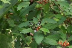 Neonsegelfalter (Graphium agamemnon) vertreibt anderen Schmetterling im Papiliorama