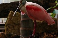 Rosa-Falter auf dem Jungle Trek im Papiliorama