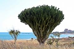 Beeindruckender Kaktus in Porto Empedocle
