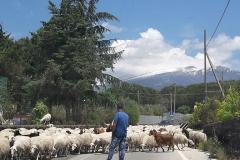 Schafe sperren kurzzeitig die Straße